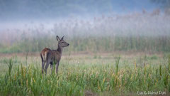 Hirschkalb vor zart aufsteigendem Nebel über dem Schilfgürtel