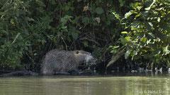 Nutria Weibchen im Uferbereich