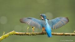 Eisvogel mit geöffneten Flügeln