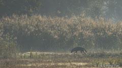 Wolf auf der Suche nach Fressbarem