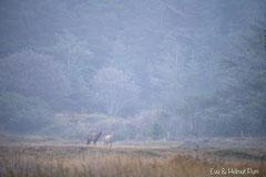 Hirsch röhrend mit Hirschkuh im Morgennebel
