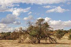 Kameldornbaum mit Webervogelnester