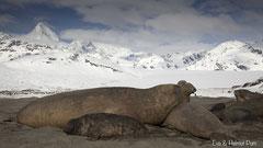 Südlicher See-Elefantenbulle mit Weibchen und Jungtier