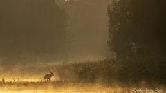Hirschbrunft: dampfender Rothirsch im goldfarbenen Gegenlicht der ersten Sonnenstrahlen