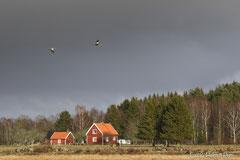 Typische, falunrote Häuser in Schweden mit ziehenden Kranichen