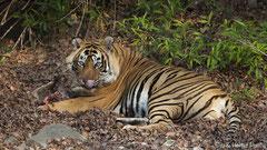 Bengaltiger mit seiner Beute