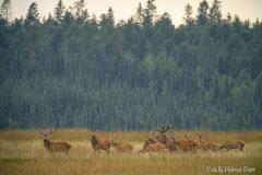 Hirsch mit Beihirschen, Spießer und Hirschkühen im hohen Gras