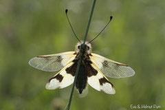Schmetterlingshaft Weibchen
