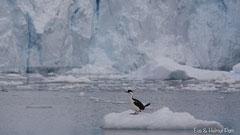 Königsscharbe auf Eisscholle