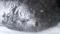 Antarktischer Seebär im Schneesturm - Portrait