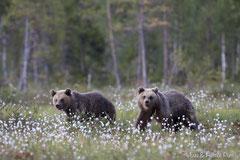 Junge Braunbären im blühenden Wollgras