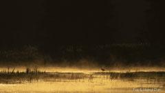Silberreiher Silhouette im rauchenden, goldfarbenen Wasser des anbrechenden Tages
