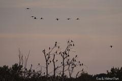 Kormorane auf Schlafplatz, Kraniche fliegen zum nahegelegenen Teich