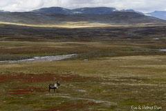 Rentier in der herbstlich verfärbten Tundra