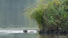 Nutria Weibchen im Wasser vor der Uferkante