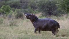 Flusspferd im Busch - angriffslustig