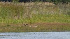 Rotfuchs zerrt an totem Höckerschwan