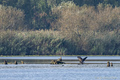 Seeadler Altvogel und Jungvogel