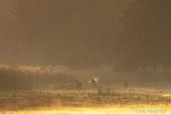 Hirschbrunft: dampfender Rothirsch und Kahlwild im roten Morgennebel der aufgehenden Sonne