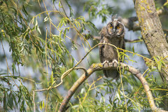 Junge Waldohreule im Weidengeäst