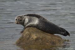 Seehund auf Stein in Küstennähe ruhend