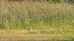 Rotfuchs zerrt am Hals des toten Höckerschwanes