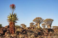 Bergaloe und Köcherbäume