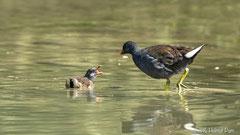 Grünfüßiges Teichhuhn mit Jungvogel