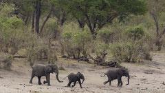 Durstige Elefanten auf dem Weg zum lebensrettenden Nass