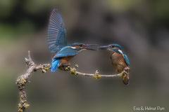 Eisvogel Weibchen und Jungvogel auf Ast