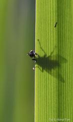 Fliege auf Schilfblatt im Gegenlicht