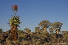 Bergaloe blühend vor Köcherbäumen