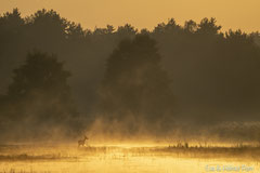 Hirschkuh im roten Morgennebel der aufgehenden Sonne