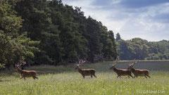 Hirsche im Bast in der Sommerwiese