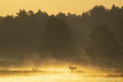Rothirsch quert die Lichtung im roten Nebel der aufgehenden Sonne