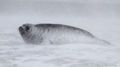 Südlicher See-Elefant, Weibchen im Schneesturm