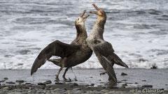 Riesensturmvögel streiten