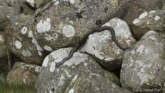 Kreuzotter Männchen auf Steinen
