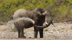 Wüstenelefant, Bulle bespritzt sich mit Wasser