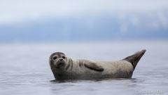 Seehund auf Stein