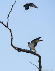 Fischadler wird von Krähe angehasst