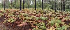 Farne im herbstlichen Wald