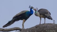 Indisches Pfauen-Paar