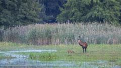 Bild mit Seltenheitswert: Rothirsch und Rotfuchs begegnen sich
