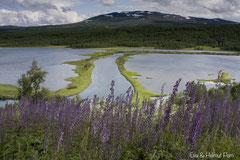 Nordischer Eisenhut in schwedischer Landschaft