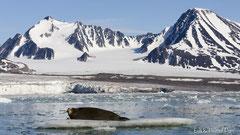 Bartrobbe auf Eisscholle vor Gletscher