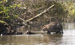 Nutria Weibchen auf Ast im Wasser