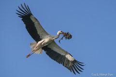 Weißstorch fliegt mit Nistmaterial zum Horst