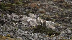 Polarfuchs markiert sein Revier