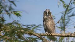 Junge Waldohreule beobachtet neugierig die Umgebung